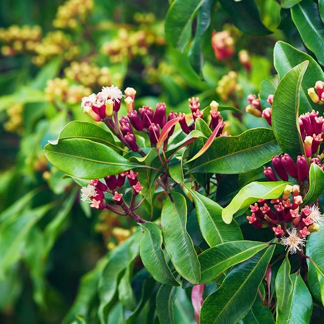Gewürznelken-Baum | Tiger Balm