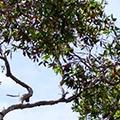 Cajeput-Baum | Tiger Balm