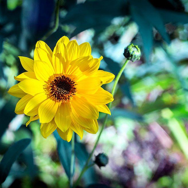 Arnika Pflanze | Tiger Balm